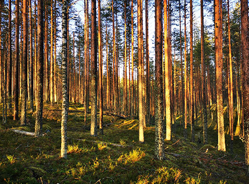 Sunny forest with beautiful trees